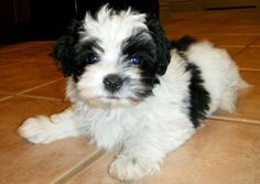 tumblr havanese puppies - Google keresés