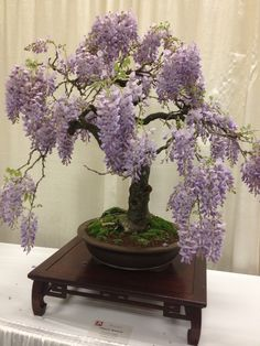 Chinese Wisteria Bonsai - San Francisco Flower and Garden Show