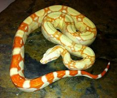 red tail boa | ... Red Tail Boas (Boa constrictor imperator) - Buy Albino Red Tail Boas