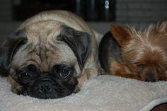 Kramer and Cooper the pug #pugs #yorkies