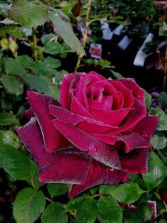 Mr. Lincoln' | Hybrid Tea rose