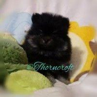 Black And Tan Colour Pomeranians. Description and in-depth information