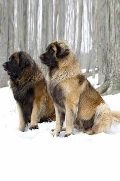 Leonberger Dog Breed Information - Leonberger ❤❤❤❤ - Hunde Akc Breeds, Cute Dogs Breeds, Large Dog Breeds, Large Dogs, Giant Dog Breeds, Leonburger Dog, Really Big Dogs, Cute Big Dogs, Husky