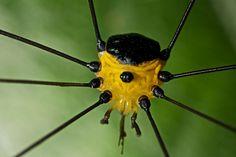 Yellow harvestman (Opiliones sp.) by pbertner, via Flickr