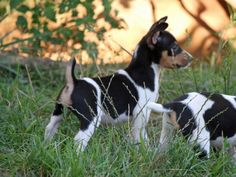 River Ridge Rat Terriers - Quality never compromised