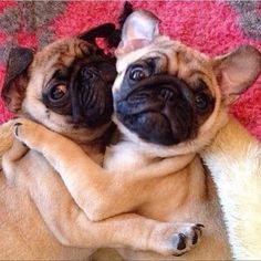 While most dogs are cute as puppies, they can lose a bit of their charm as they grow up and grow older. Well, not so for Pugs, as they basically look the same as they get older, just bigger. This gives the Pug a great advantage for looking cute and [. Funny Dog Memes, Funny Dogs, Funny Animals, Cute Animals, Cute Pugs, Cute Puppies, Funny Pug Pictures, Pug Pics, Pug Photos