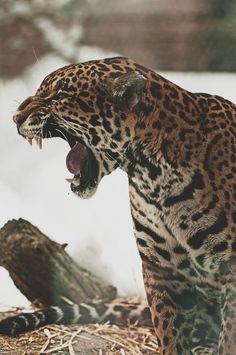 Jaguar by Eric Kilby Nature Animals, Animals And Pets, Cute Animals, Beautiful Cats, Animals Beautiful, Animal Jaguar, Gato Grande, Exotic Cats, Lynx