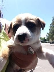 Cactus is an adoptable Boxer Dog in Fort Collins, CO. Cactus is a very sweet 8 week old puppy rescued from a high kill shelter. This puppy has been started on housebreaking and cratetraining in foster...