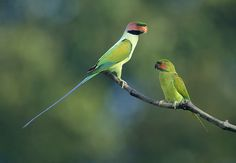 Long-tailed Parakeets courting