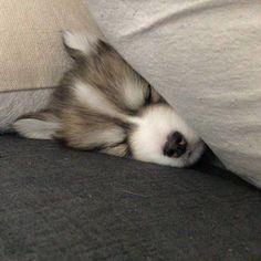 Pomeranian Puppy All I do is sleep asleep sleep _______________________________________________________ # pomsky Pomeranian Husky, Pomsky Puppies, Rottweiler Puppies, Husky Puppy, Cute Puppies, Cute Dogs, Dogs And Puppies, Puppys, Doggies