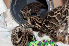 3 cubs socializing at Denver Zoo