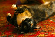 5 Top Medical Problems of Indoor Cats http://www.petful.com/pet-health/5-top-medical-problems-indoor-cats/