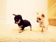 Chihuahuas!