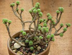 Great succulent for bonsai. Growing Succulents, Cacti And Succulents, Planting Succulents, Cactus Plants, Planting Flowers, Weird Plants, Exotic Plants, Cool Plants, Rock Garden Plants