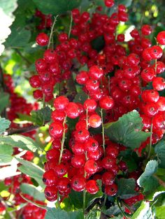 Red Currants - i remember a few summers, plucking these with my grandmother for her to make homemade jam