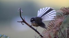 New Zealand fantail. North Island pied morph adult showing fanned tail . Image © Jenny Atkins by Jenny Atkins www. Colorful Animals, Colorful Birds, Exotic Birds, New Zealand Tattoo, Flower Tattoo Foot, Flower Tattoos, Birds Online, Fairy Tattoo Designs, Nz Art