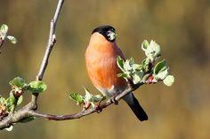 Bullfinch, Bap, Fruit Trees, Action, Birds, Content, Prints, Animals, Group Action