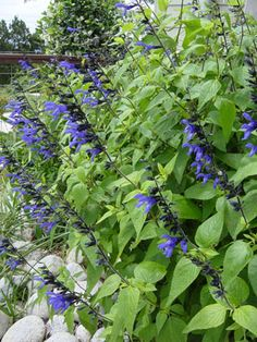 Black and Blue Sage (it's actually a salvia) sun to part sun (that means partial shade in Texas) flowers from late summer to late fall, 8 feet tall and up to 3 feet wide.