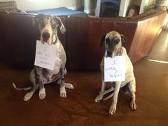 20 Funny Photos of Guilty Great Danes | Canine Distractions