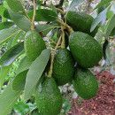 Tutte le tecniche e consigli per quest'albero da frutto: . All the techniques and tips for this fruit tree: how to plant the avocado plant, grow it, irrigate it Avocado Plant, Avocado Tree, Potted Trees, Fantasy Places, Garden Trees, Green Life, Spring Garden, Fruit Trees, Vegetable Garden