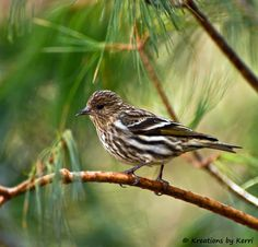 Pine Siskin; I have seen these in our garden