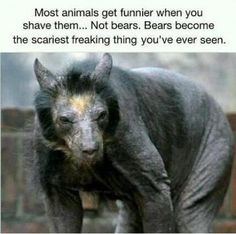 funny animals when shaved.. not bears.. .
