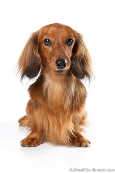 A long haired Dachshund, and I shall name her Elaine