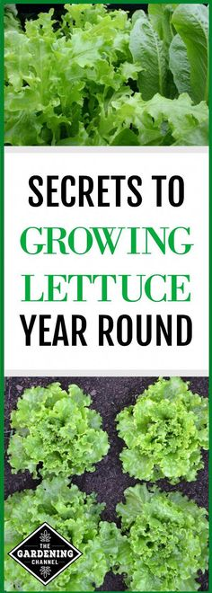 Grow Lettuce Year Round Enjoy fresh greens from your garden year round. Gardening and planting tips on how to grow lettuce year round. Growing Lettuce, Growing Veggies, Growing Plants, How To Grow Lettuce, Grow Lettuce Indoors, Indoor Vegetable Gardening, Organic Gardening Tips, Veggie Gardens, Gardens