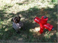 How to make your own DIY Fire Hydrant lawn decor for your pooch. Using some pvc pipe I made this DIY Fire Hydrant for my little fella to pee on.