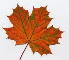 maple leaf   Thread: Track Idea: Maple Leaf