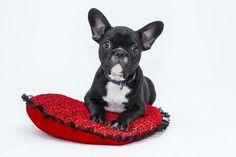 Bulldog, Filhote De Cachorro, Cão, Animal De Estimação