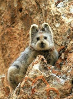 Have you ever seen one of these? Say hello to the Ili pika, a tiny mountain dwelling mammal with a teddy bear face from northwestern China. Rarely ever spotted (but extremely cute!). Photo: Li Weidong