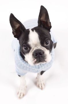 10 Surprising Facts About The Boston Terrier