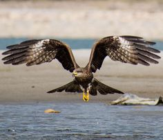 An indian eagle in mid-flight. I waited a month for this photo. By Sagar Thakur.