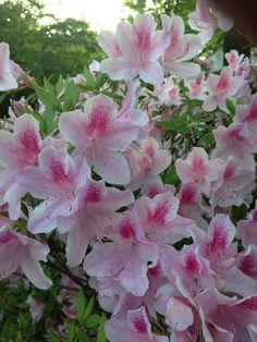 Pretty pink spots on white azaleas White Azalea, Ball Jointed Dolls, Pretty In Pink, Girly, Plants, Beautiful, Flowers, Women's, Girly Girl