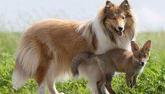 Un renardeau adopté par un chien  une histoire vraie comme on nen voit que chez Disney