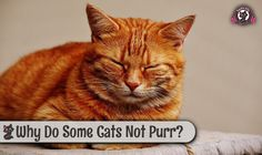 Why Do Some Cats Not Purr - SweetieKitty