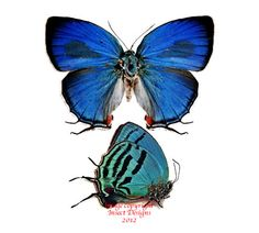 Lycaenidae are small butterflies, but they are often brightly coloured. This one is Evenus floralia from Peru.