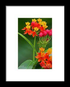 milkweed, orange, flower, bloom, blossom, nature, garden, michiale, schneider, photography
