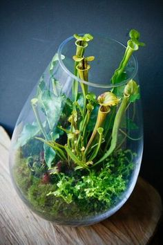 Carnivorous terrarium small enough for a desktop or windowsill. Tropical pitcher plants have a high indoor light requirement. www.ContainerWaterGardens.net: