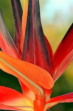 Only In Paradise. by Tanya Tanski - Only In Paradise. Photograph - Only In Paradise. Fine Art Prints and Posters for Sale Exotic Flowers, Tropical Flowers, Exotic Birds, Colorful Birds, Tropical Art, Flower Prints, Flower Art, Wisconsin, Birds Of Paradise Flower