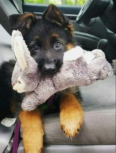 All About The Confident German Shepherd Dog Exercise Needs Positive Dog Training, Basic Dog Training, Training Tips, Gsd Puppies, Cute Puppies, Husky Puppy, Puppies Tips, Puppies Stuff, Labradoodle Puppies