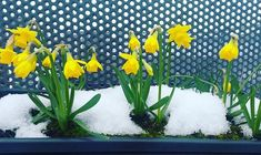 Sorry I havent posted any pictures of igloos or weathered snow men .i only sat in the house in my pjs for the week feeding the little birds and not in any pressure to be anywhere or do anything.my only responsibilities was to stay warm and safe.it was fantastic .on another note Im happy to see all my miniature daffodils survived the big snow  so happy  #galwaycity #snowmageddon #snowedin #springtime #marchgarden #daffodils #miniatures #yellowflowers #gardening #gardenshots #meltingsnow… Irish Weather, Snow Men, Little Birds, Daffodils, Stay Warm, Yellow Flowers, Pjs, Spring Time, Repurposed