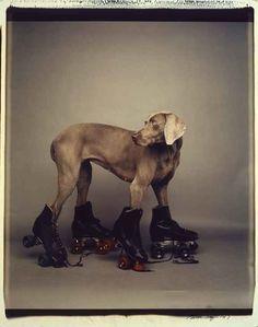 As photographer William Wegman tells it, his cinnamon-gray Weimaraner wasn't content to just sit and stay William Wegman, Bmx, Mans Best Friend, Best Friends, Mundo Animal, Roller Skating, Roller Derby, Chicano, Skateboarding