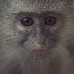 Mirabelle's been getting lots of love from her new foster momma.  #Vervetforest #vmf #monkey #baby #orphan #outdoors #nature #naturelovers #animallovers #SouthAfrica #amazingafrica #vervet #wanderlust #wildlife #babyanimals #ReGeneration #notpets #babymonkey #slowmo #sustainability #documentary #cute #adorable #love #igdaily #instagood #instamood #travel