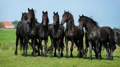 Friese Paarden  (Van vroegevogels)