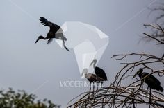 Bico-Aberto/African Openbill by Artur Cabral – Moderimage