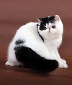 Exotic Shorthair picture (White & Black)