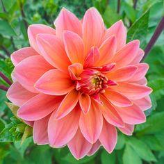 Mister Frans Dahlia - 2 per package Summer Bulbs, Spring Bulbs, Spring Blooms, Perennial Bulbs, Sun Perennials, Plant Zones, Bulbs For Sale, Sandy Soil, Planting Bulbs