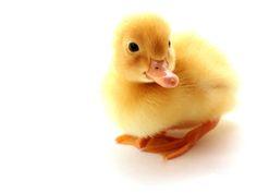 Cute duckling
